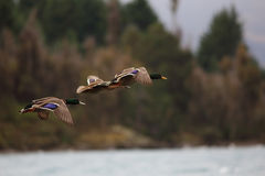 Freedom. Family of duck flying in the nature Royalty Free Stock Image