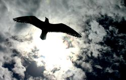 Freedom of Flight. Seagull flying overhead against the light of sun and cloudy sky Stock Images