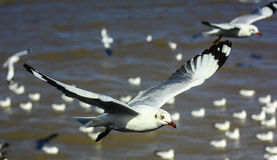 Freedom flying seagull Royalty Free Stock Images