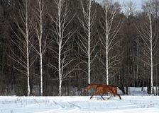 Freedom horse in winter nature Stock Photography