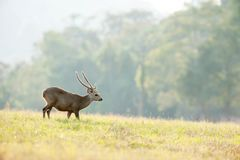 Freedom life, a male Hog deer relaxing while feeding in the green field. Phukhieo Wildlife Sanctuary, Thailand. Freedom life, a male Hog deer relaxing while stock images