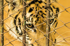 Freedom of little tiger. Little tiger trapped inside a cage pitifully Stock Photo