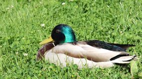 Freedom Of Living Repose And Sunbathing One Male Mallard. One wild duck relaxation and sunbathing  on green grass during springtime in Europe. freedom and easy Stock Image