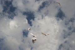 Freedom Peace and Space. A flock of white pigeons flying up to cloudy blue sky Royalty Free Stock Photos