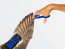 Freedom and restriction concept. Scissors cut the wing. Royalty Free Stock Photo