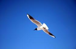 Freedom sea gull. Flying sea bird as symbol of freedom behind blue sky royalty free stock image