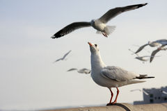 Freedom Seagull. Seagull,Symbol of freedom. Every year, Seagull, the white bird from siberia fly to Bangpoo Thailand when siberia nearly gelid Royalty Free Stock Image