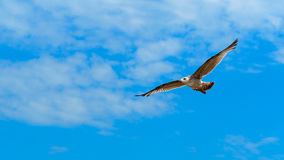 Freedom. Seagull flying over Sopot beach , Poland Stock Images