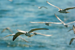 Freedom. Seagulls are flying over sea Royalty Free Stock Photo