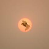 Freedom sign with Bird flying through the sun Stock Photos