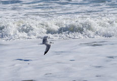 Freedom! Single seagull flying. Royalty Free Stock Image