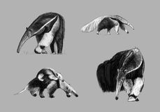 Freehand drawing of giant anteater. Black and white freehand drawing of giant anteater Royalty Free Illustration