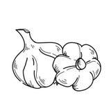 Freehand drawing illustration vegetable garlic. Royalty Free Stock Photos