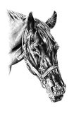 Freehand horse head pencil drawing. Art work, drawing using pencil on artistic paper Royalty Free Stock Photos