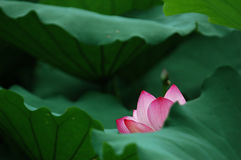 Freehand lotus Royalty Free Stock Photography