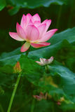 Freehand lotus Stock Photography