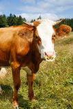 Freely grazing domestic and healthy cow Royalty Free Stock Photography