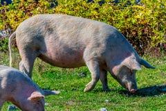 Freely grazing pig on an organic farm. Freely grazing pig on a traditional organic farm stock photo