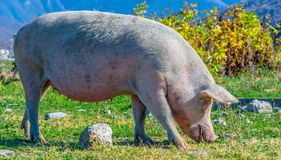 Freely grazing pig on an organic farm. Freely grazing pig on a traditional organic farm royalty free stock photography
