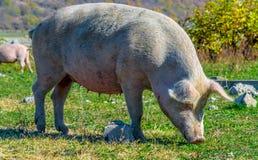 Freely grazing pig on an organic farm. Freely grazing pig on a traditional organic farm stock photography