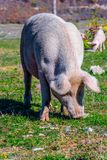 Freely grazing pig on an organic farm. Freely grazing pig on a traditional organic farm royalty free stock images
