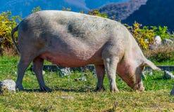 Freely grazing pig on an organic farm. Freely grazing pig on a traditional organic farm royalty free stock photos
