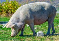Freely grazing pig on an organic farm. Freely grazing pig on a traditional organic farm stock images