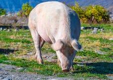 Freely grazing pig on an organic farm. Freely grazing pig on a traditional organic farm stock photos