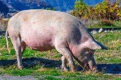Freely grazing pig on an organic farm. Freely grazing pig on a traditional organic farm royalty free stock image