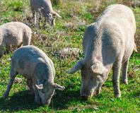 Freely grazing pigs on an organic farm. Freely grazing pigs on a traditional organic farm stock photos