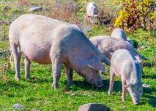 Freely grazing pigs on an organic farm. Freely grazing pigs on a traditional organic farm stock image