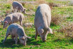 Freely grazing pigs on an organic farm. Freely grazing pigs on a traditional organic farm royalty free stock images