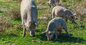 Freely grazing pigs on an organic farm. Freely grazing pigs on a traditional organic farm stock photo
