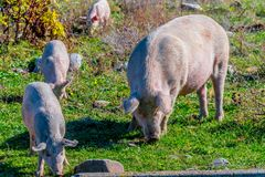 Freely grazing pigs on an organic farm. Freely grazing pigs on a traditional organic farm royalty free stock image