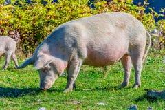 Freely grazing pigs on an organic farm. Freely grazing pigs on a traditional organic farm stock photography