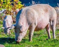 Freely grazing pigs on an organic farm. Freely grazing pigs on a traditional organic farm stock images