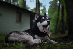 freely lying dog breed Siberian Husky yawns Stock Photos