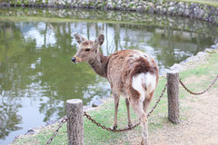 Nara deer Royalty Free Stock Images