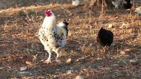 Freerange weiße Hühnerfütterung stock video