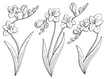 Freesia καθορισμένο διάνυσμα απεικόνισης σκίτσων λουλουδιών γραφικό μαύρο απομονωμένο λευκό Στοκ φωτογραφία με δικαίωμα ελεύθερης χρήσης