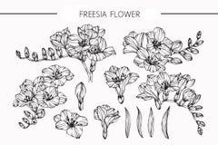 Freesia цветет чертеж и эскиз с лини-искусством бесплатная иллюстрация