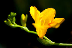 Freesia#1 Stock Image