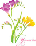 Freesia. Colored Freesia flowers in bouquet Royalty Free Stock Photos
