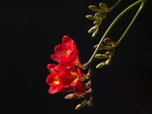 Freesia. Many picutures of beautiful flowers Royalty Free Stock Images