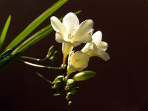 Freesia. Many picutures of beautiful flowers Royalty Free Stock Photos
