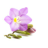 Freesia. Isolated on white background Royalty Free Stock Images