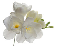 freesia Obrazy Stock