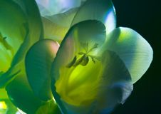 Freesia Stock Photography