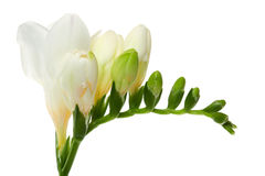 Freesia. Blooming flower with bud against white background Stock Photo