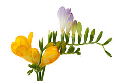 Freesia Royalty Free Stock Images